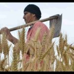 कृषि बिल पास होने के बाद मोदी सरकार ने 50 रूपए बढ़ाया गेंहू का MSP.